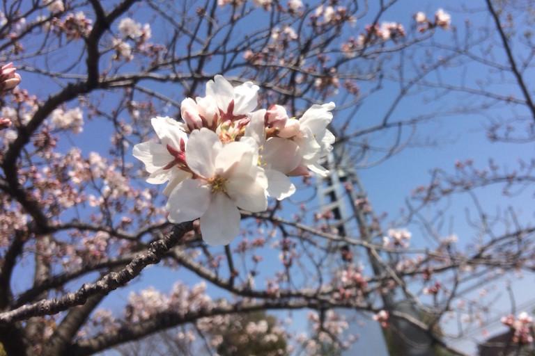 平和公園 桜