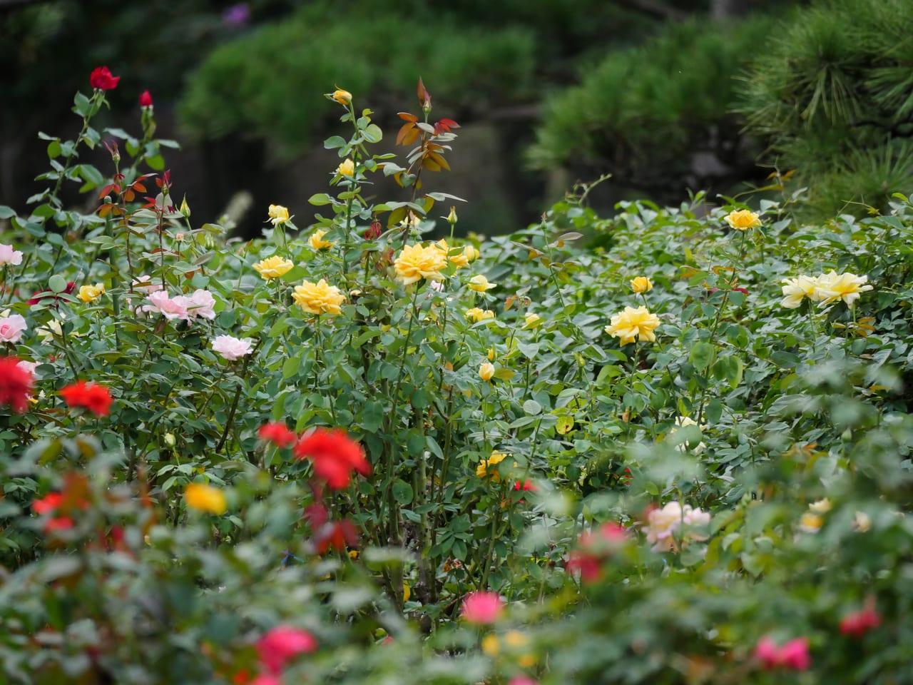 平塚総合公園の秋バラ