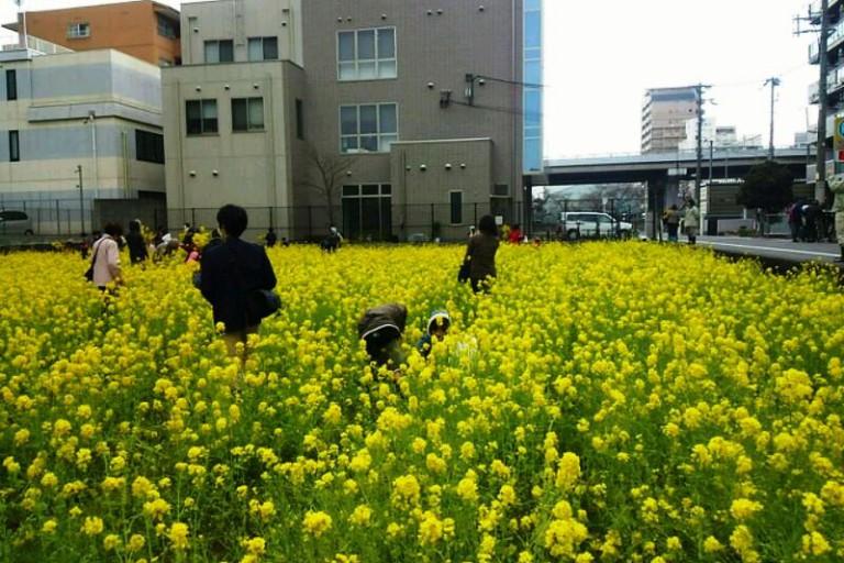 菜の花鑑賞会