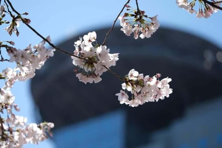 鶴見緑地の桜