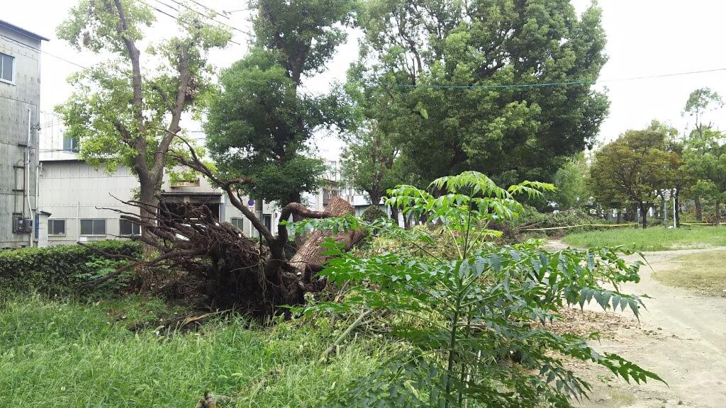 西淀公園 台風21号で倒れただろう木