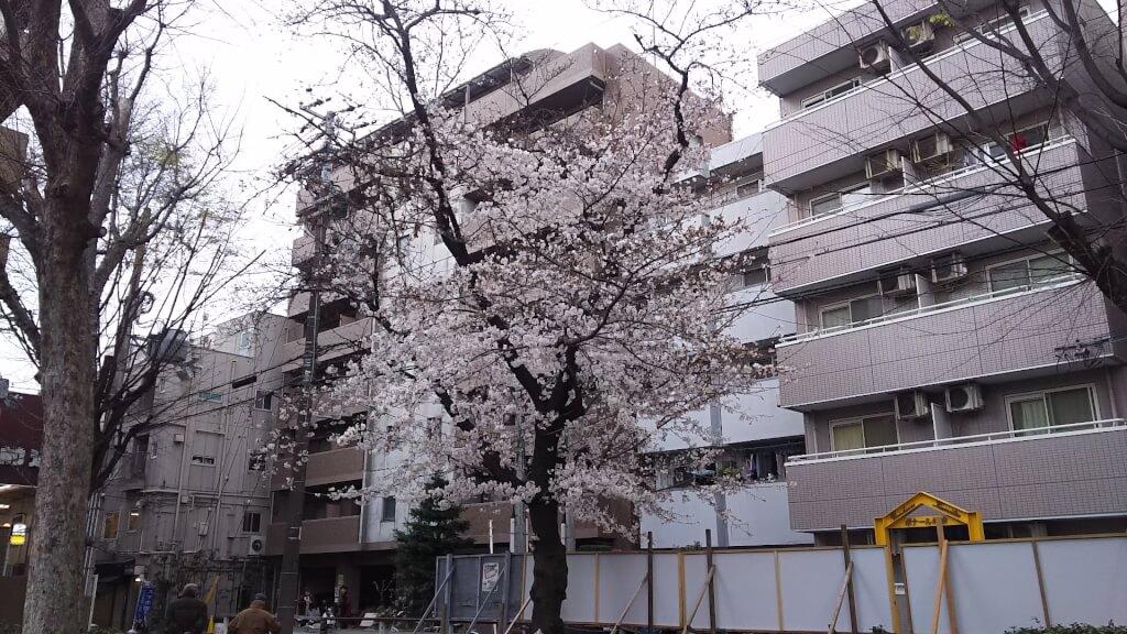 十三東公園 桜