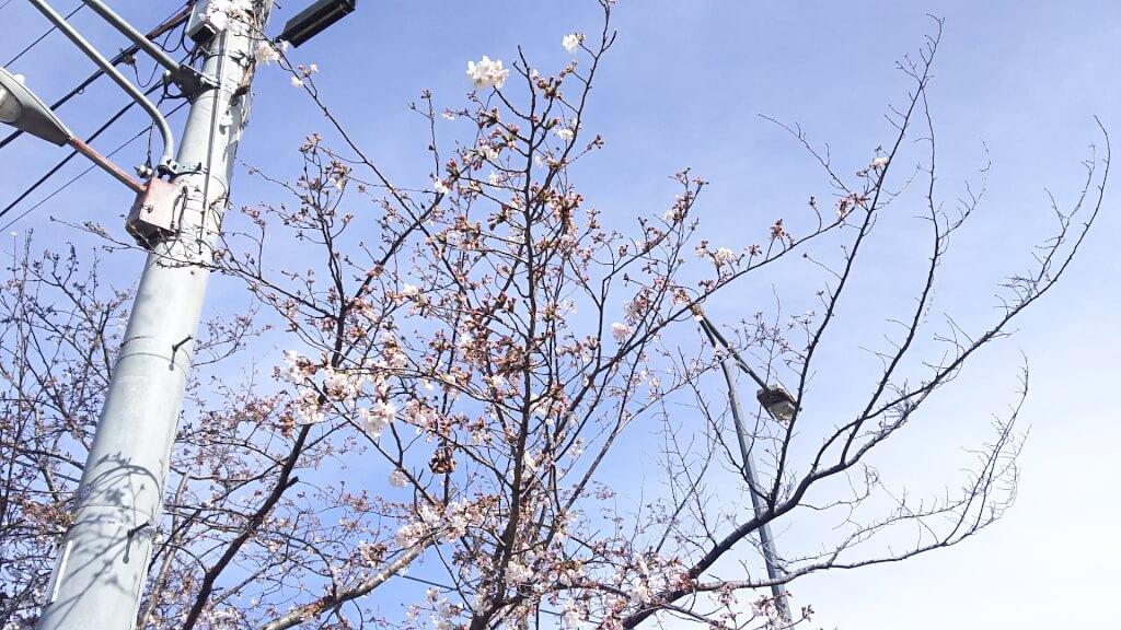 淀川河川敷 堤防沿い 愛光保育園付近 桜の アップ