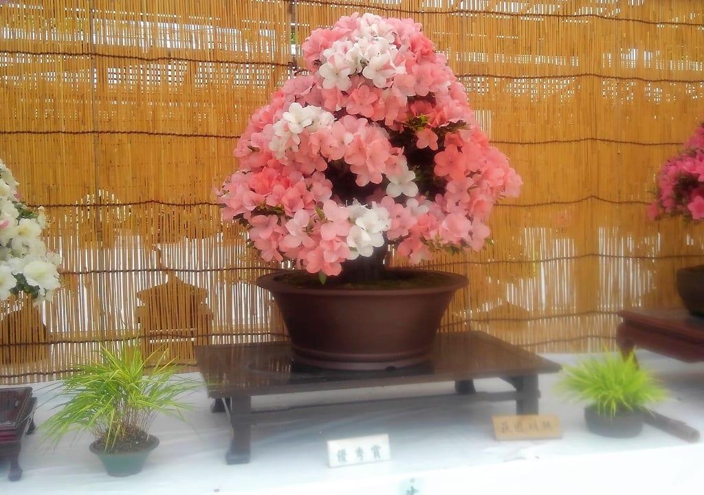 特大の盆栽