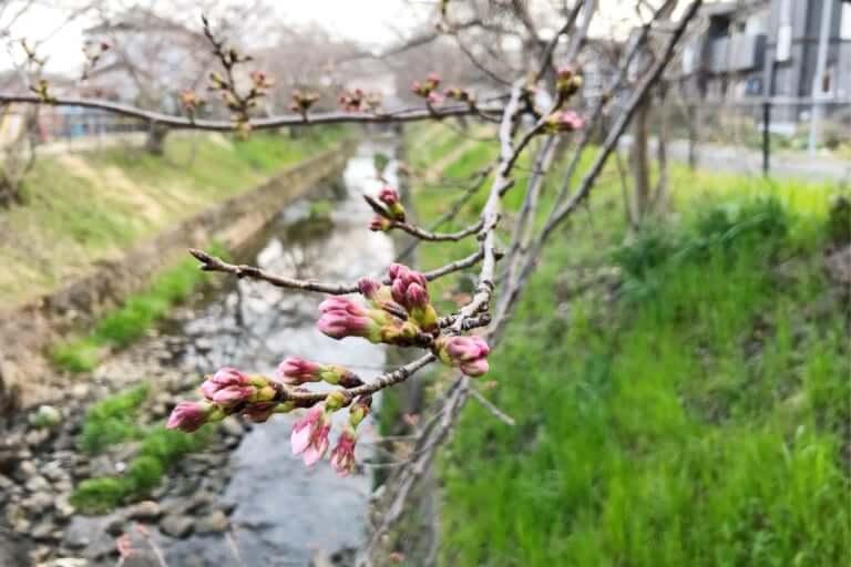 馬坂川の桜