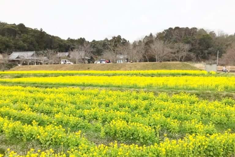 普賢寺の菜の花畑