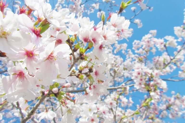 伊丹市桜の茶会