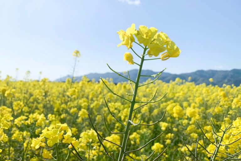 斐川町の菜の花畑