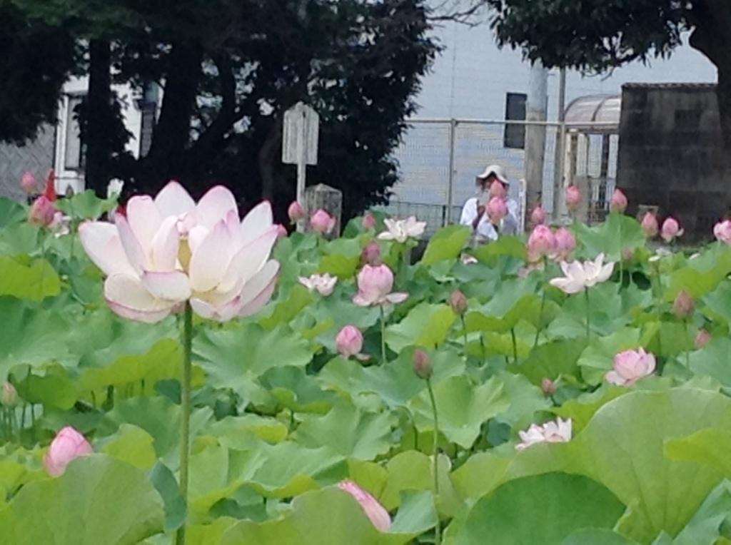 伊賀八幡宮のハス