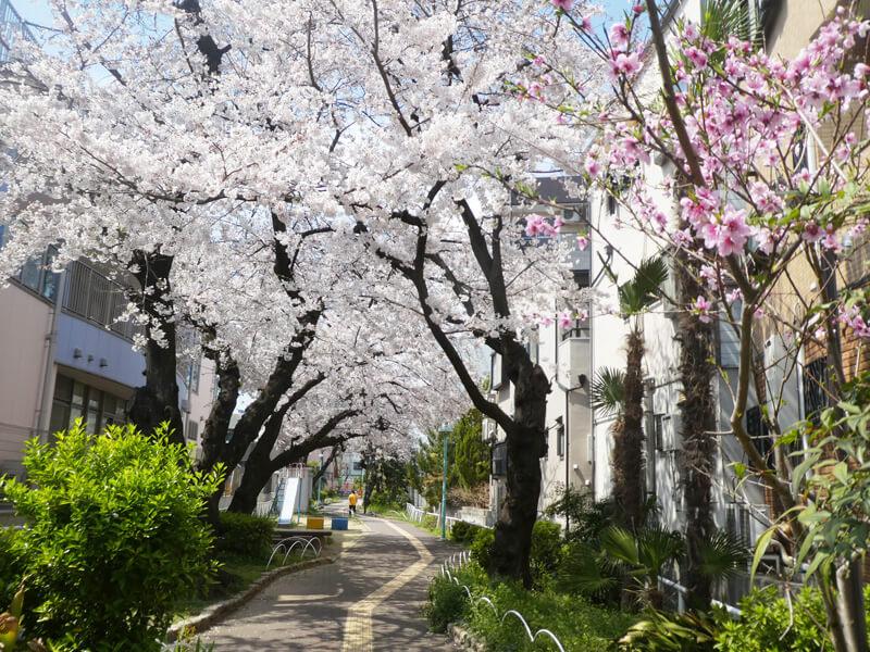 桃町緑道の桜