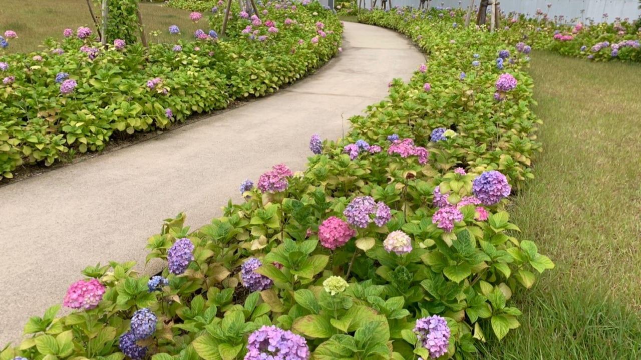 ホスピタルガーデンの紫陽花